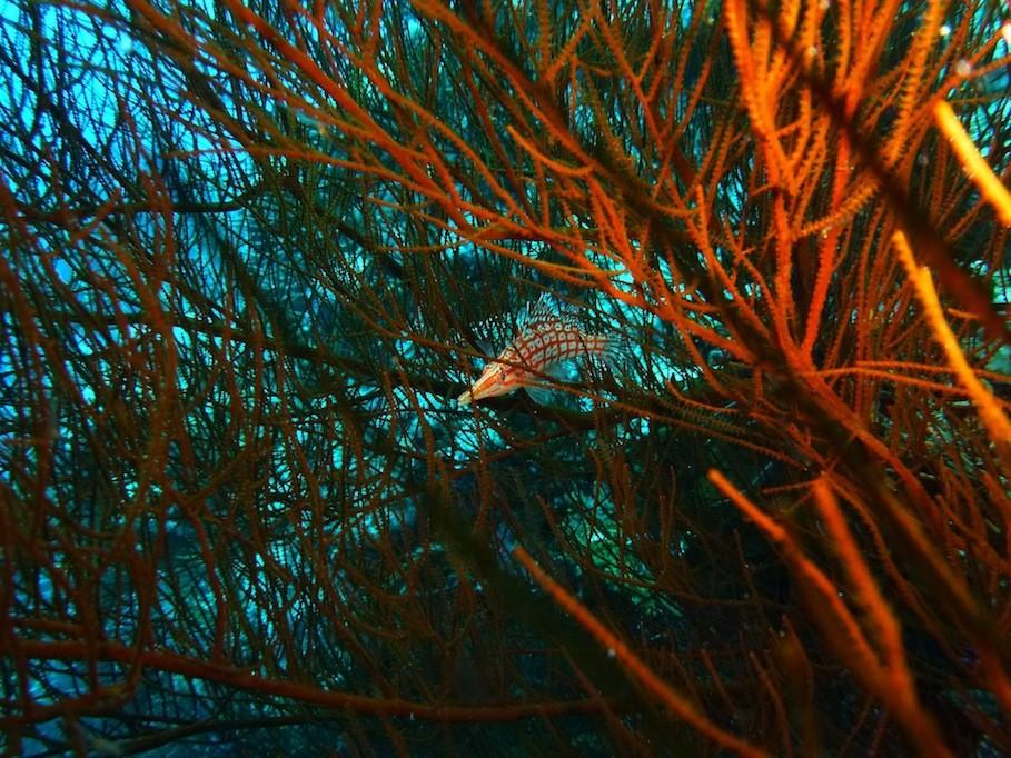 Langschnauzen - Büschelbarsch ( Longnose hawkfish )