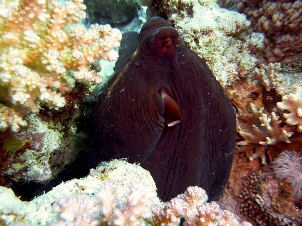 Oktopuss