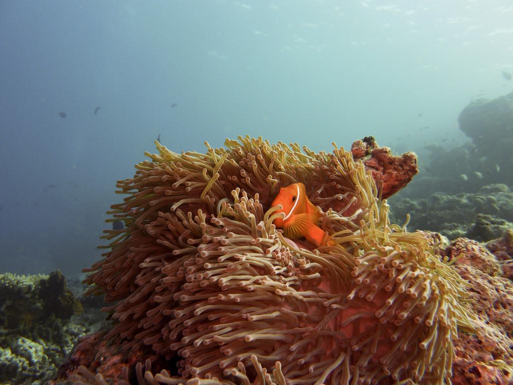 Malediven - Anemonenfisch