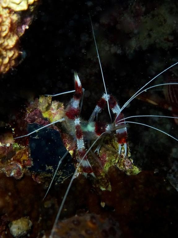 Gebänderte Scherengarnele ( Banded boxer shrimp )