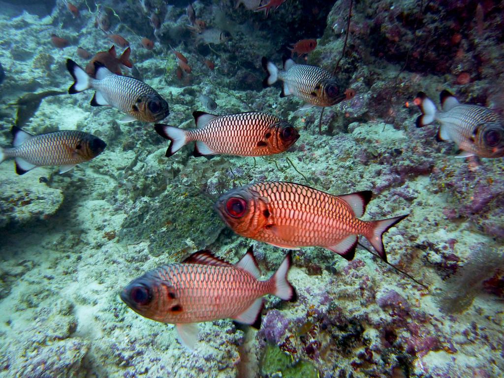 Schwarzbinden - Soldatenfisch