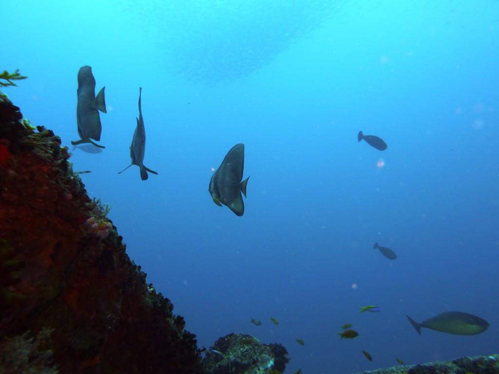 Langflossen - Fledermausfisch
