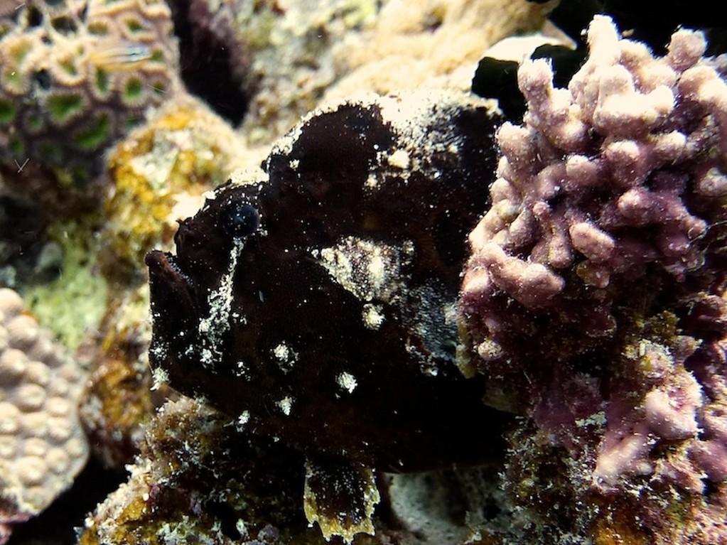 Sommersprossen - Anglerfisch ( Freckled anglerfish )
