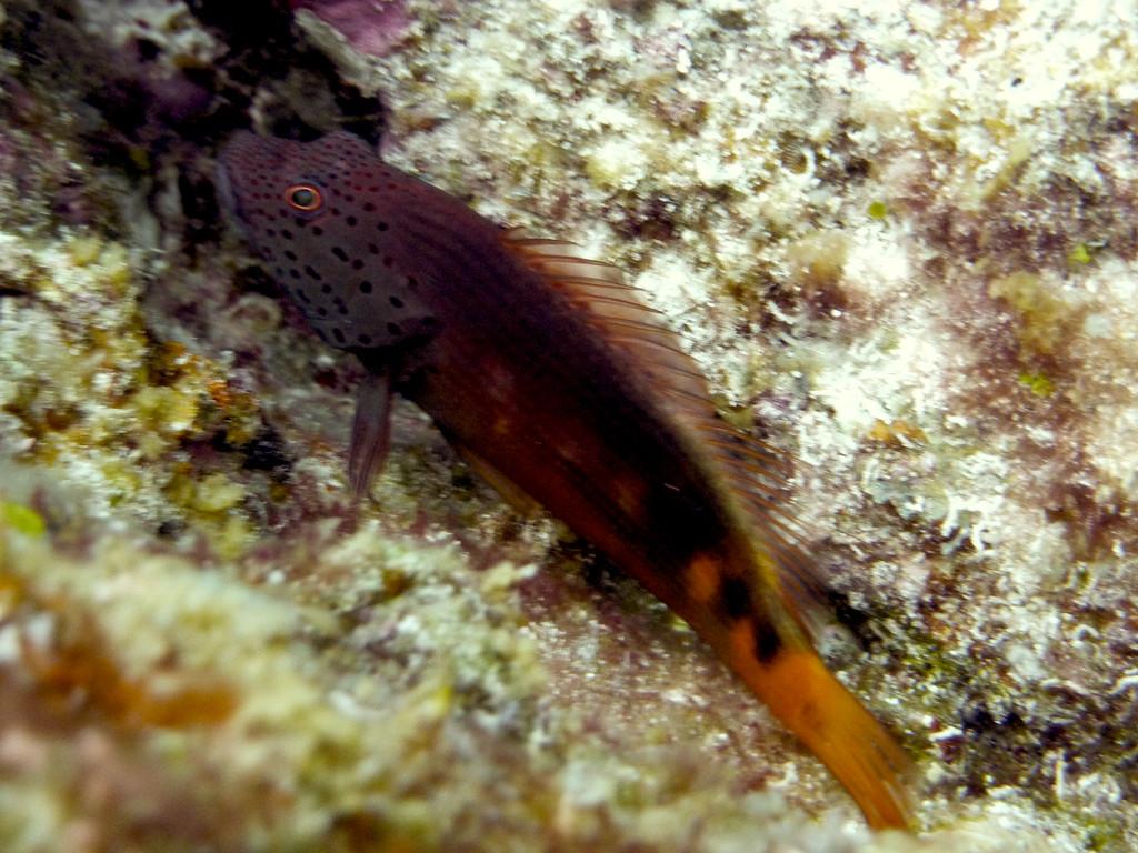 Forsters-Büschelbarsch Jungfisch