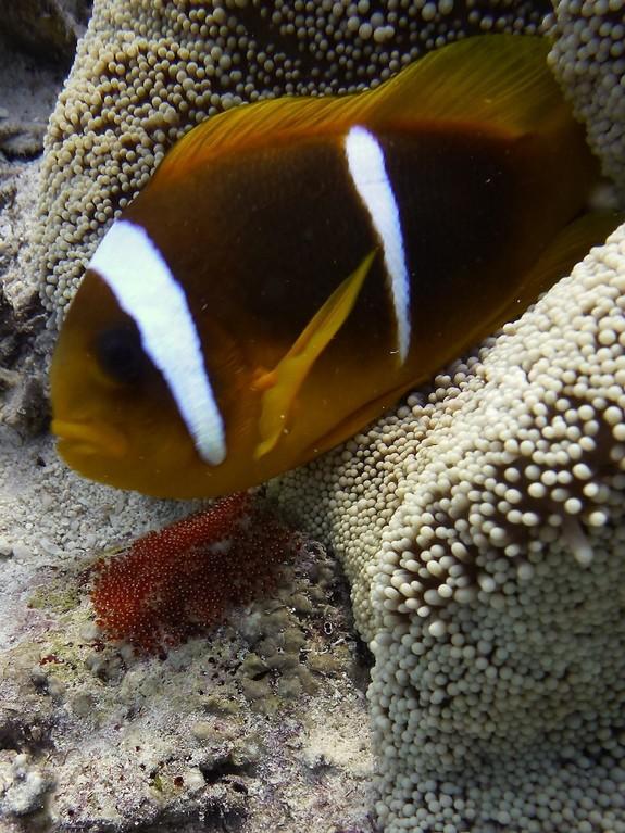 Gelege des Anemonenfisches ( rot links unten )