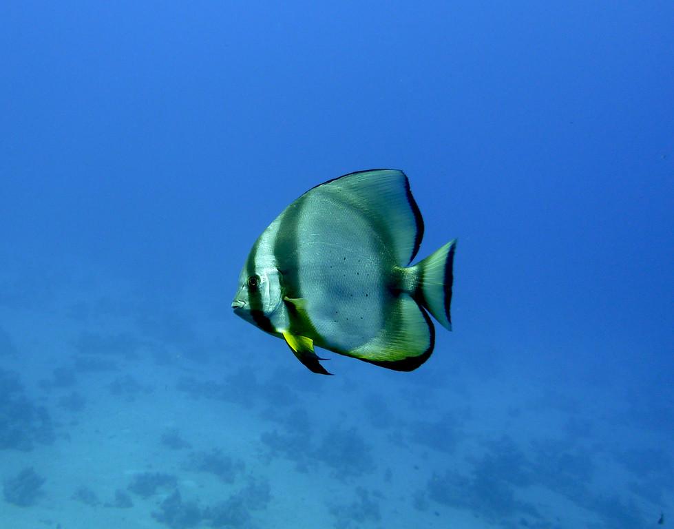 Rundkopf-Fledermausfisch