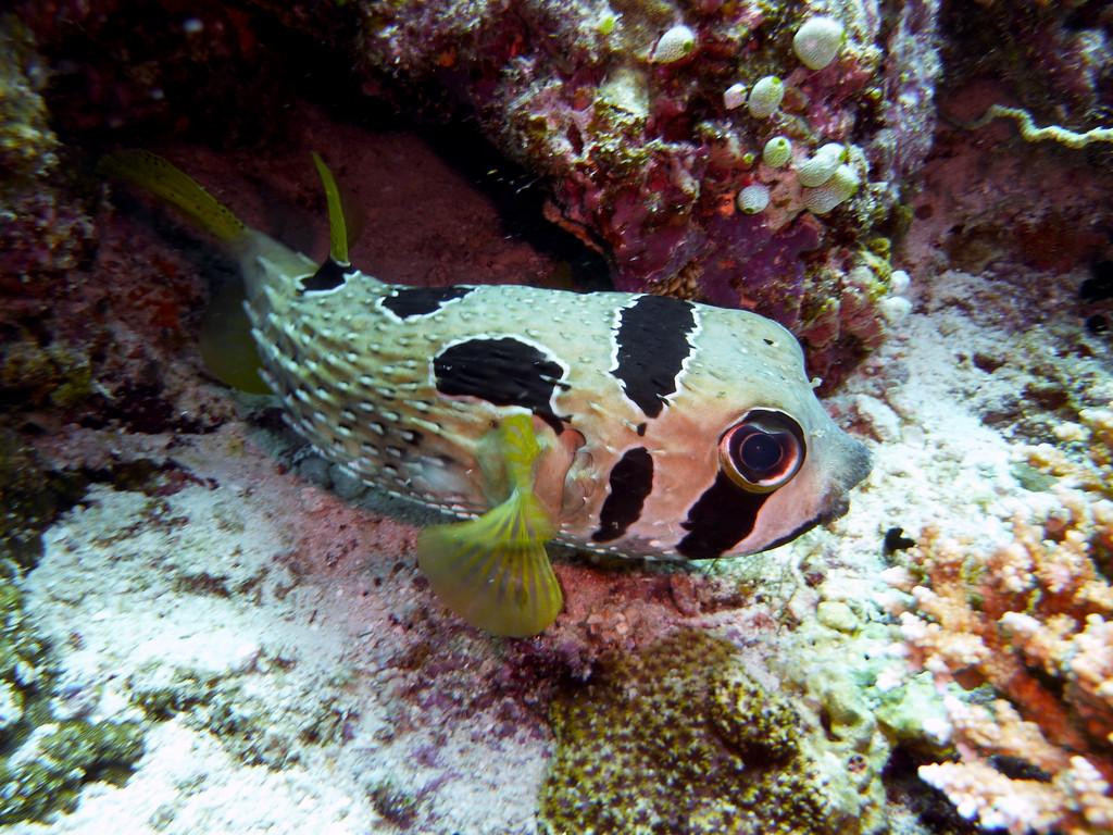 Masken - Igelfisch