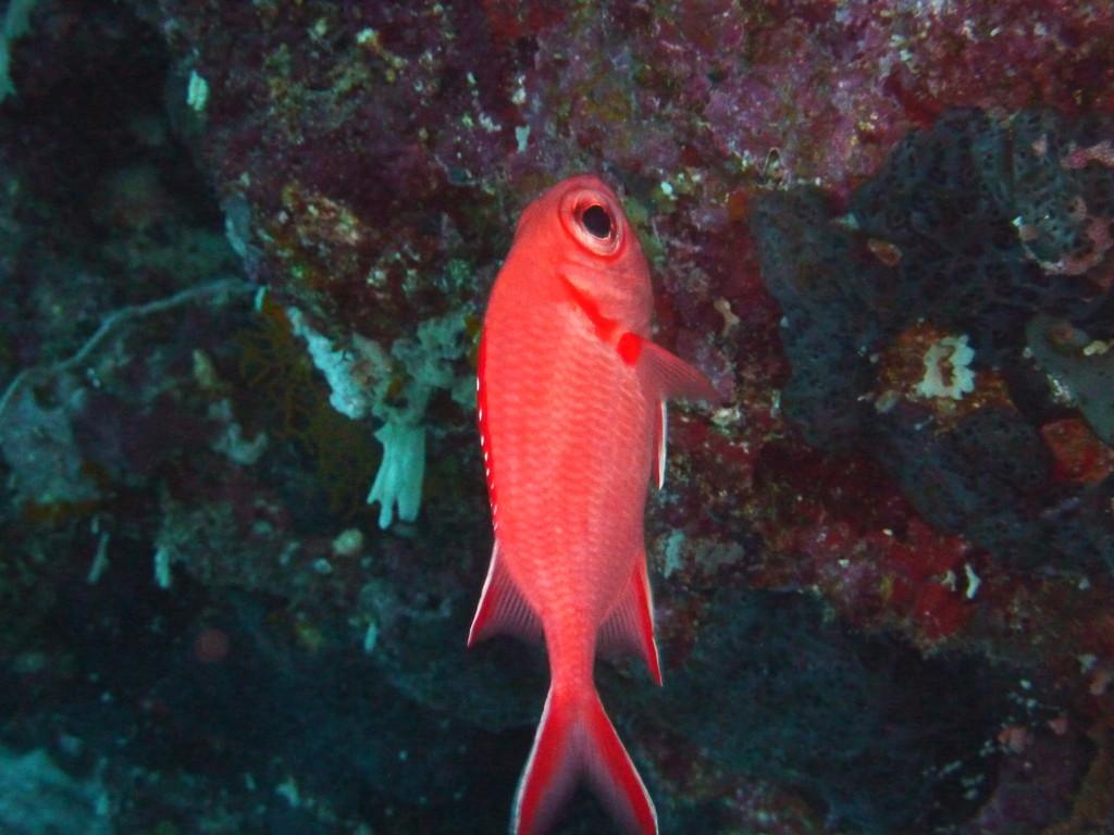 Weisspitzen - Soldatenfisch