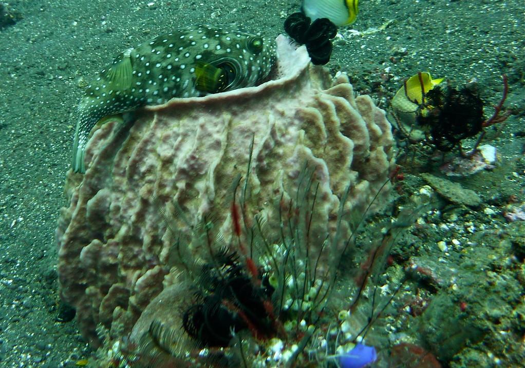 Kugelfisch auf Schwamm