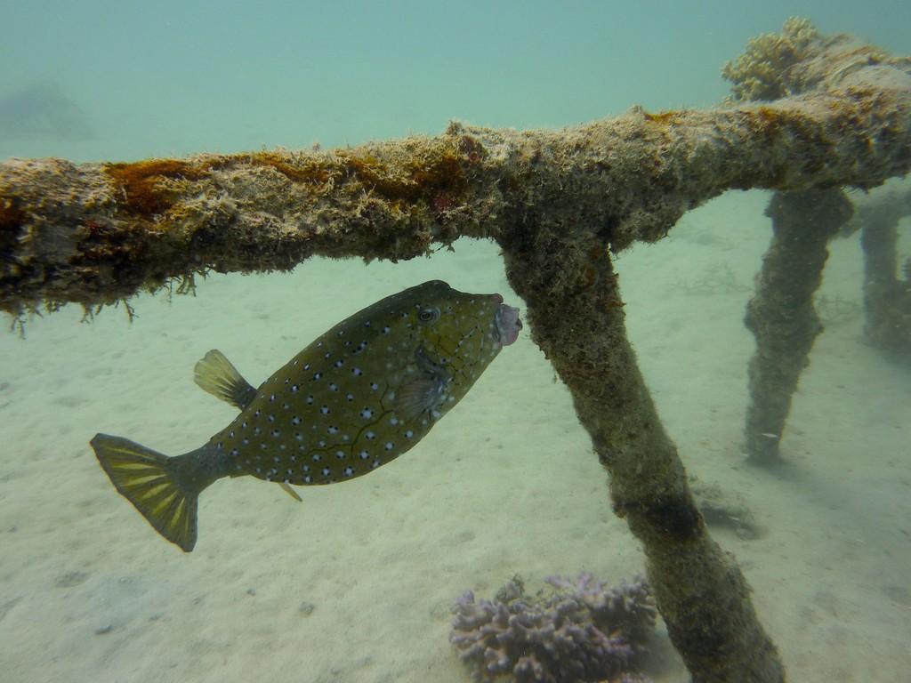 Gelbbrauner Kofferfisch