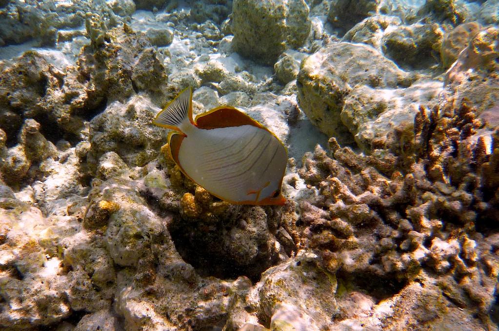 Gelbkopf - Falterfisch