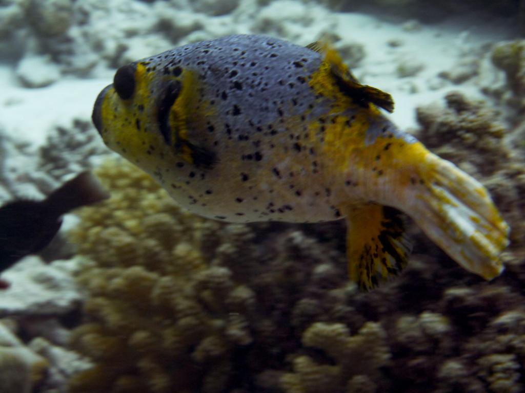 Schwarzfleck - Kugelfisch
