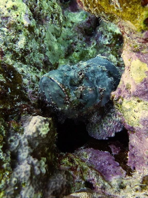 Buckel - Drachenkopf ( Devil sporpionfish )