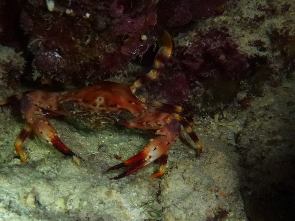 Rote Schwimmkrabbe ( Red swimming crab )