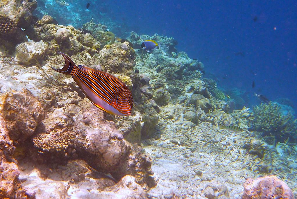 Blaustreifen - Doktorfisch