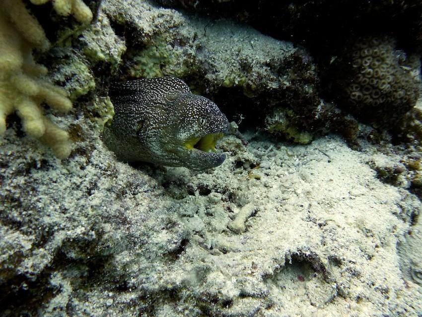 Gelbmaulmuräne ( Yellowmouth moray )