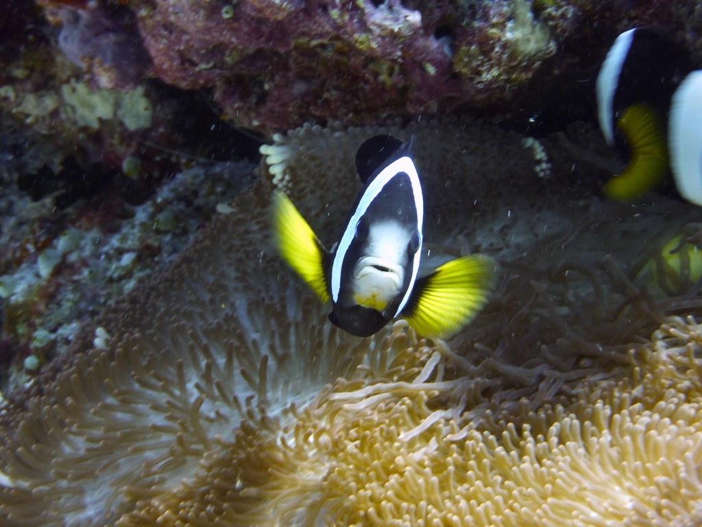 Clarks - Anemonenfisch