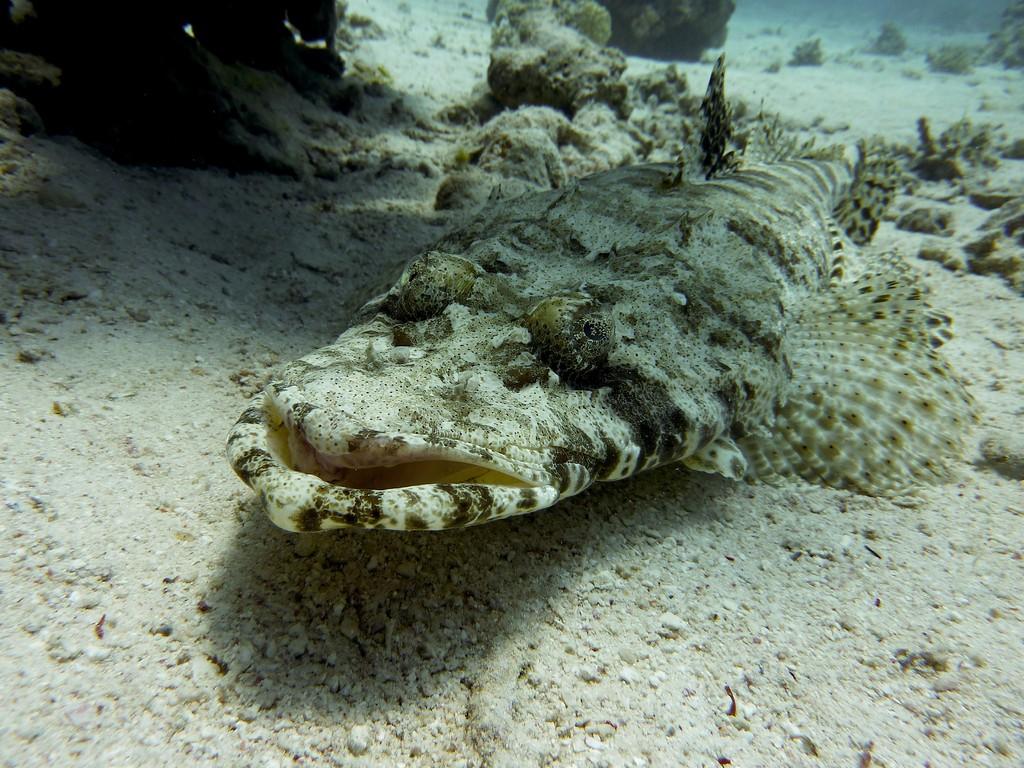 Teppich Krokodilfisch