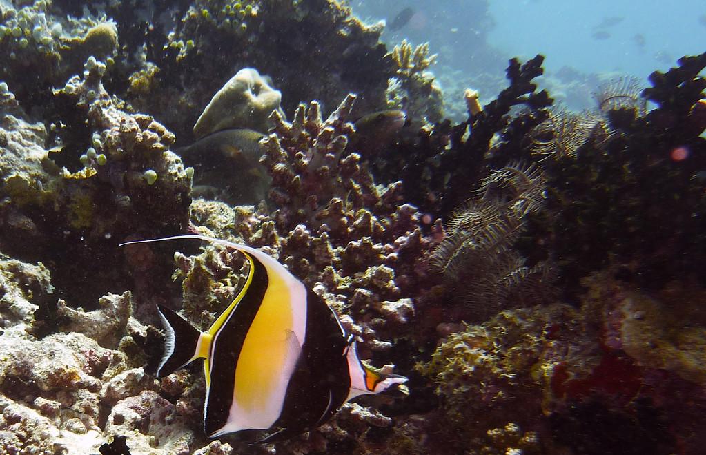 Riff - Wimpelfisch