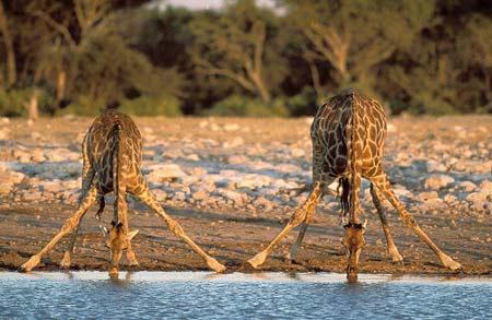 Auch für Giraffen sind Bedürfnisse nicht immer einfach zu befriedigen...  Darum schön weiter üben ;-))