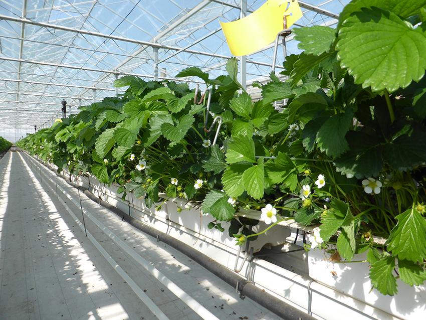 Fruchthof Hensen Erdbeerkulturen