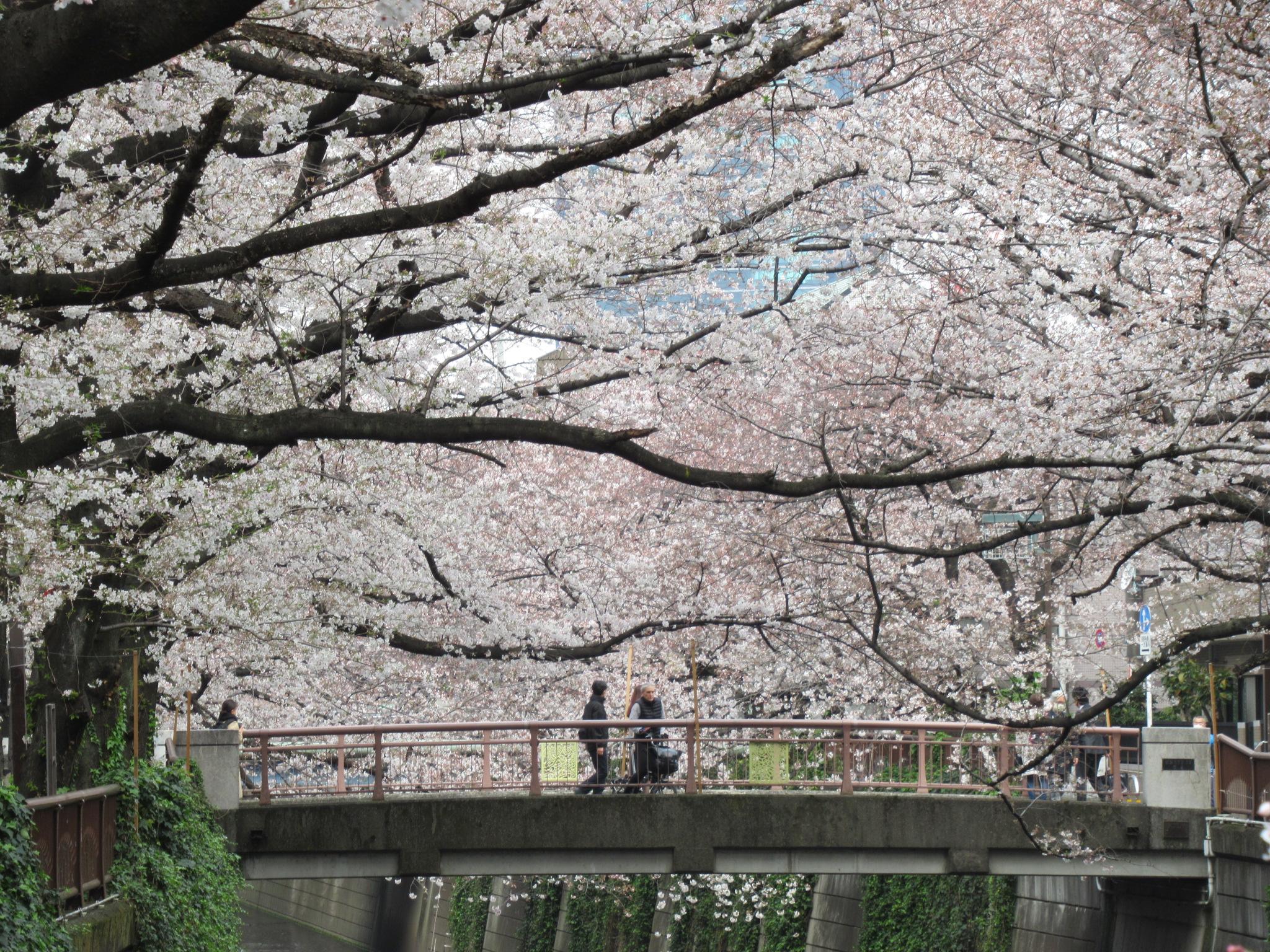 目黒川の桜①