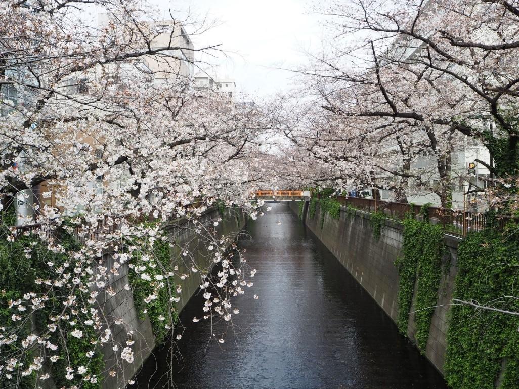 【目黒川周辺】今や外国人にも大人気の桜の定番スポット