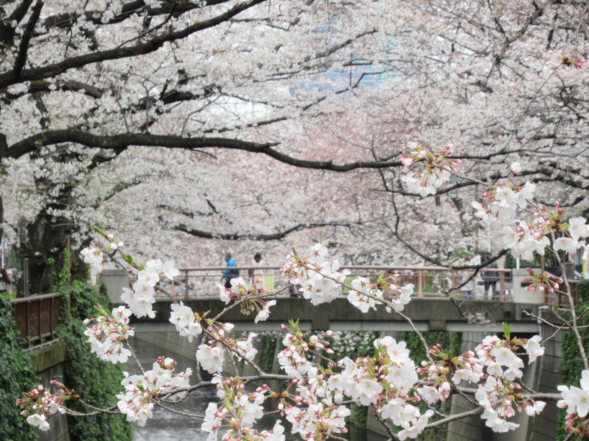 目黒川の桜② 手前の桜に焦点