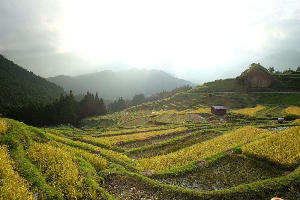 稲刈りの時期には黄金色の景色が広がります。