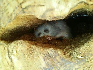 Ghiro all'interno di una fessura su un castagno