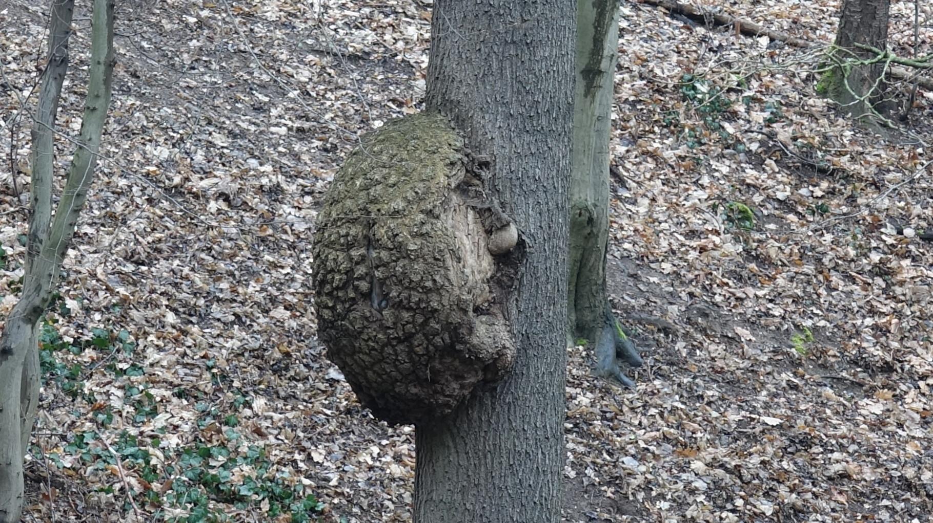 Der den Baum hinaufkletternde Igel.