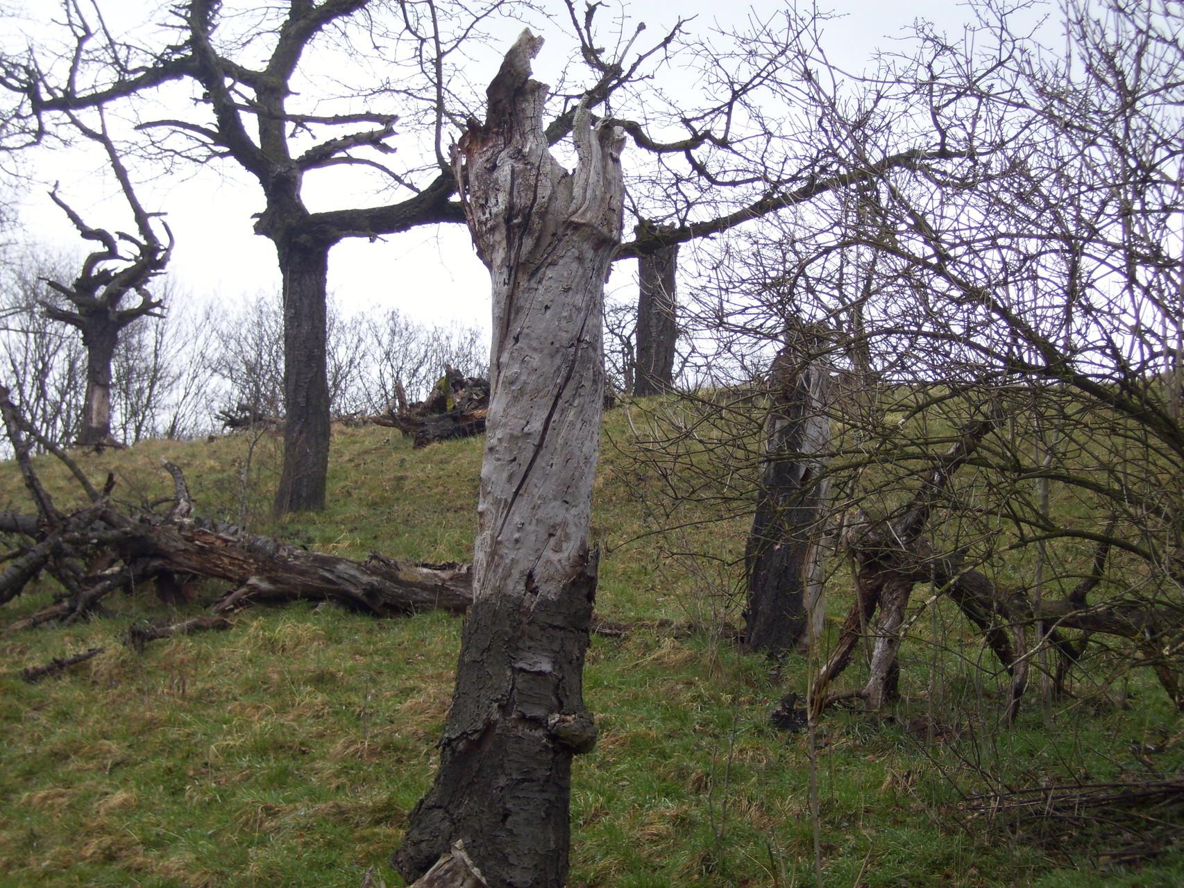 Eine urige alte Obstbaumwiese.