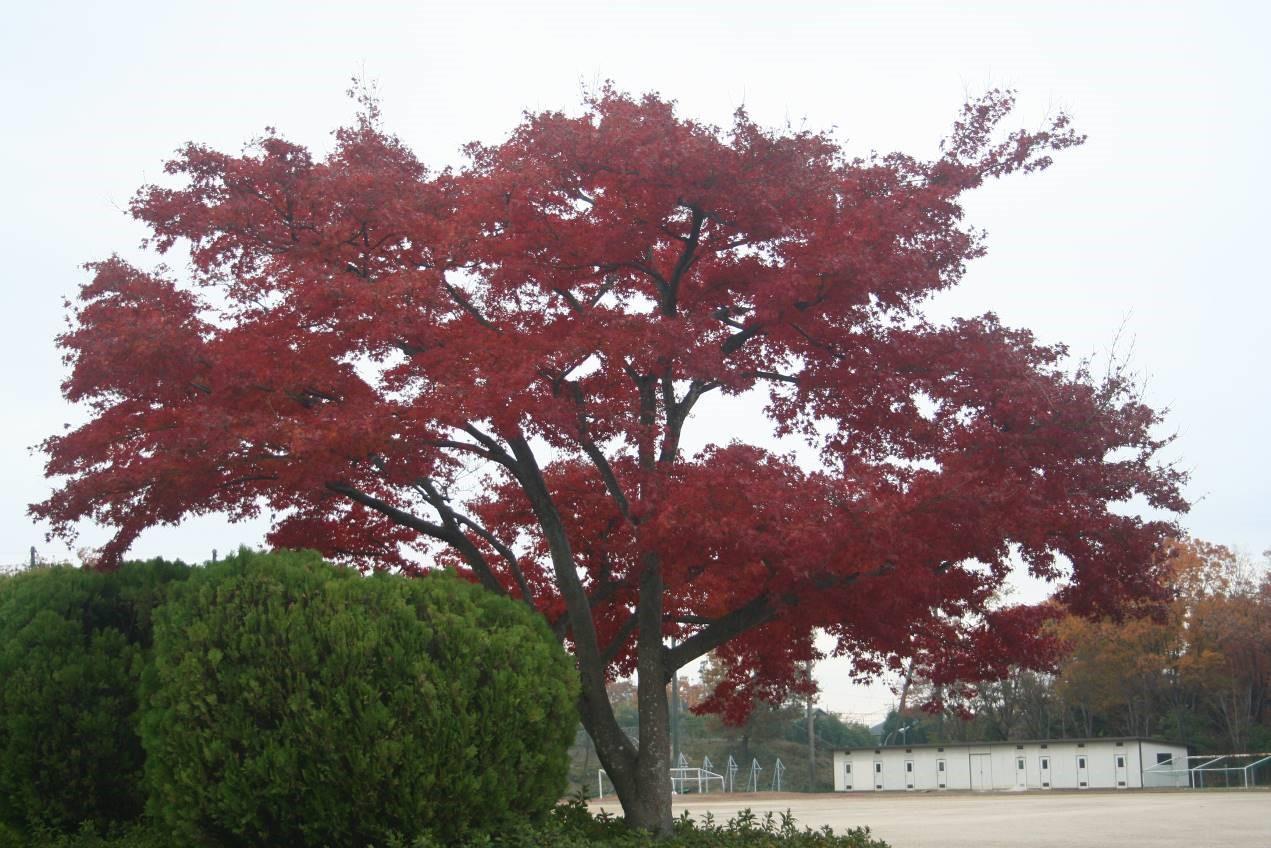 鮮やかに紅葉しています。