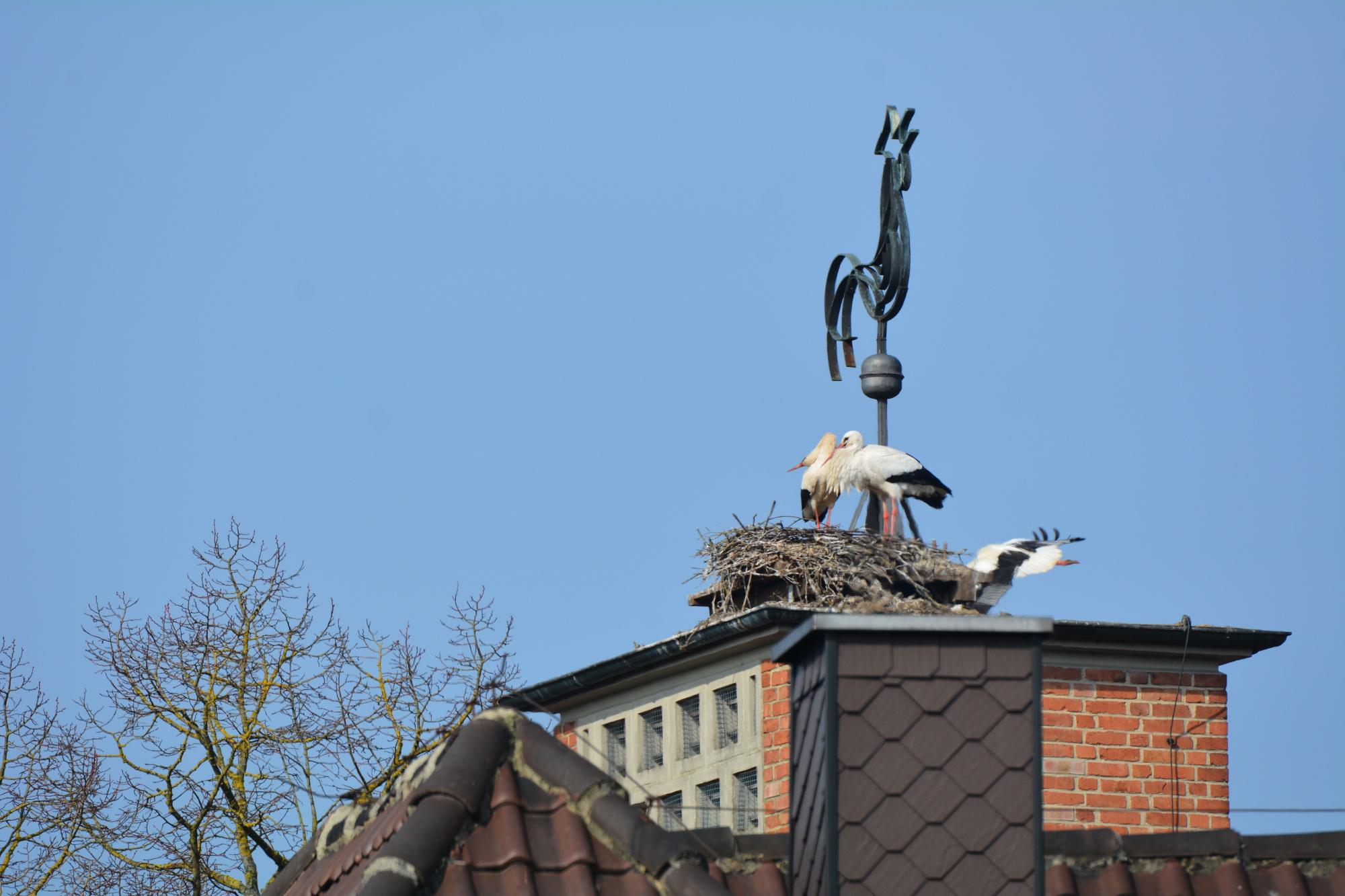 Der Angriff eines Storches, noch harmlos
