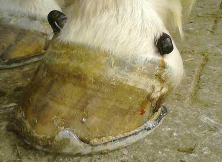 Blutegeltherapie beim Pferd an den Hufen