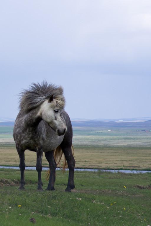 Cheval Islandais, d'assez petite taille, il est le seul à posséder 5 allures au lieu de 3