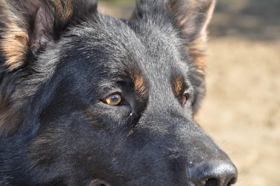 Schäferhund Carlos