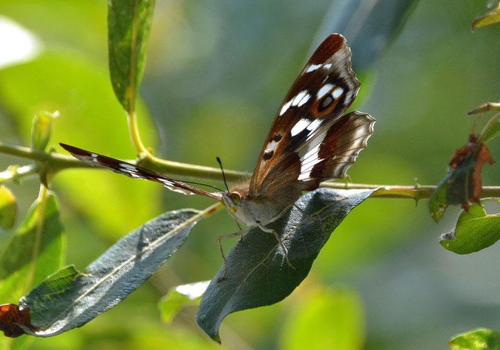 Emporer Butterfly