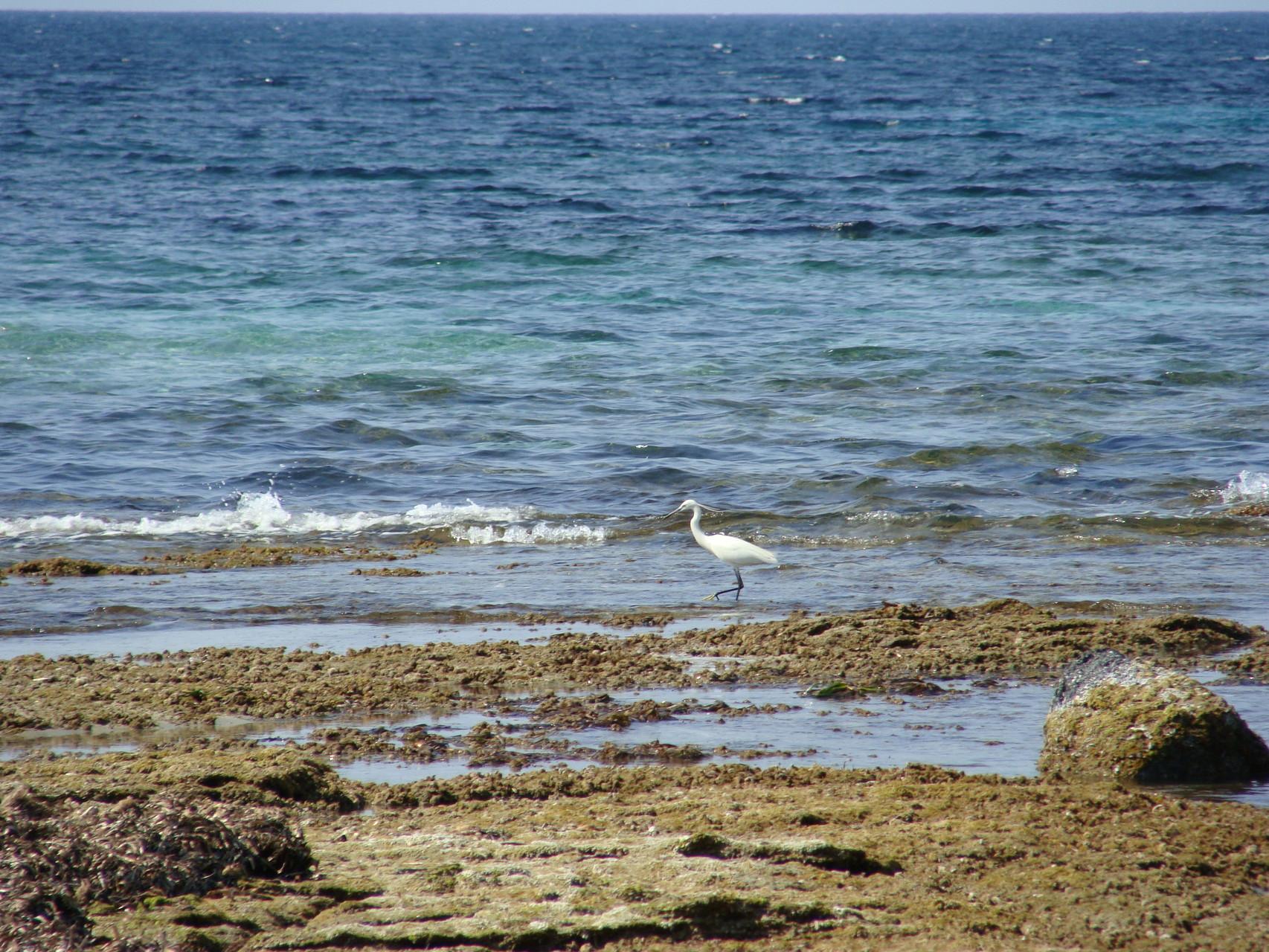Héron blanc à Barcaggio