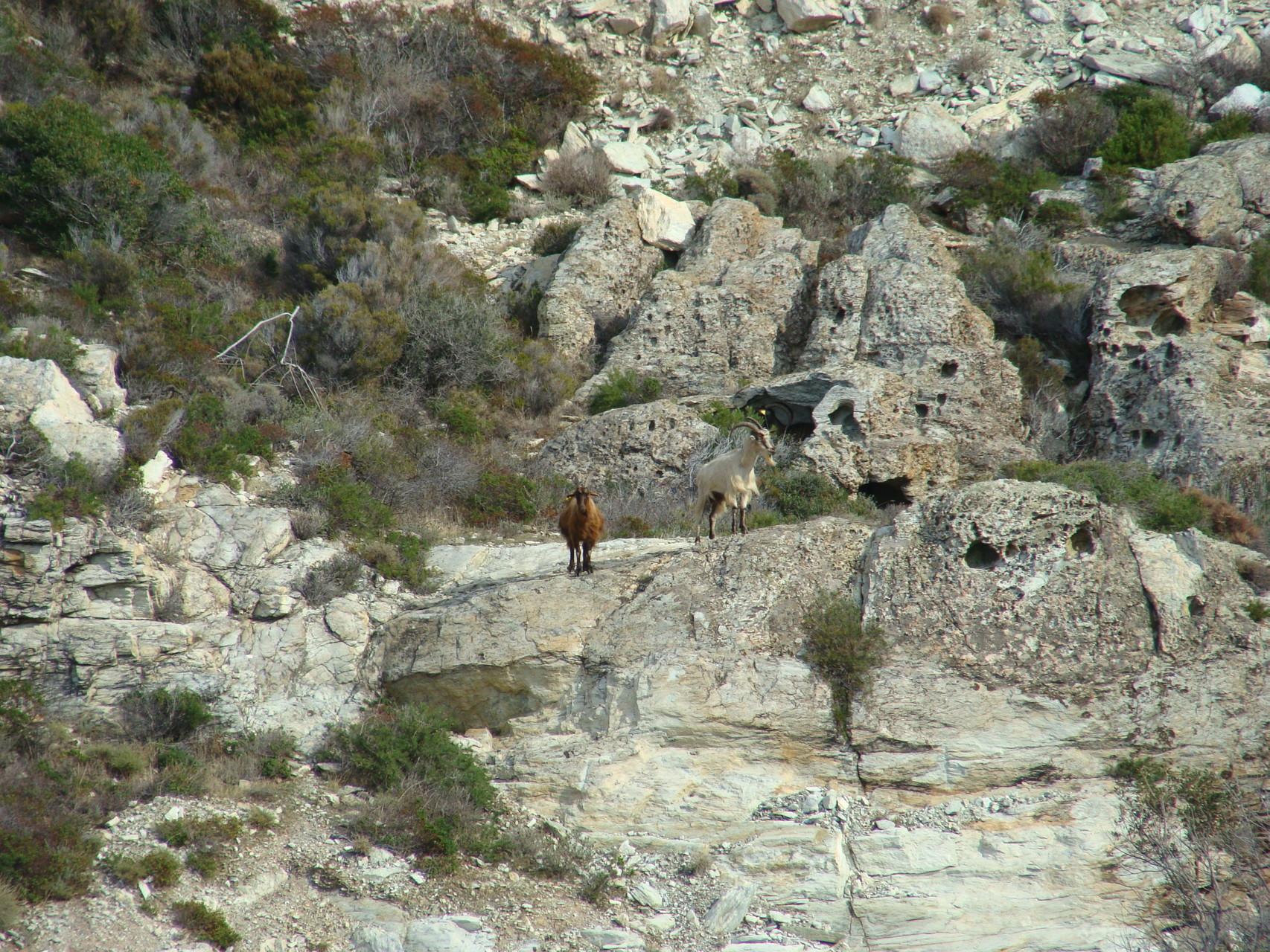 Chèvres du Cap Corse