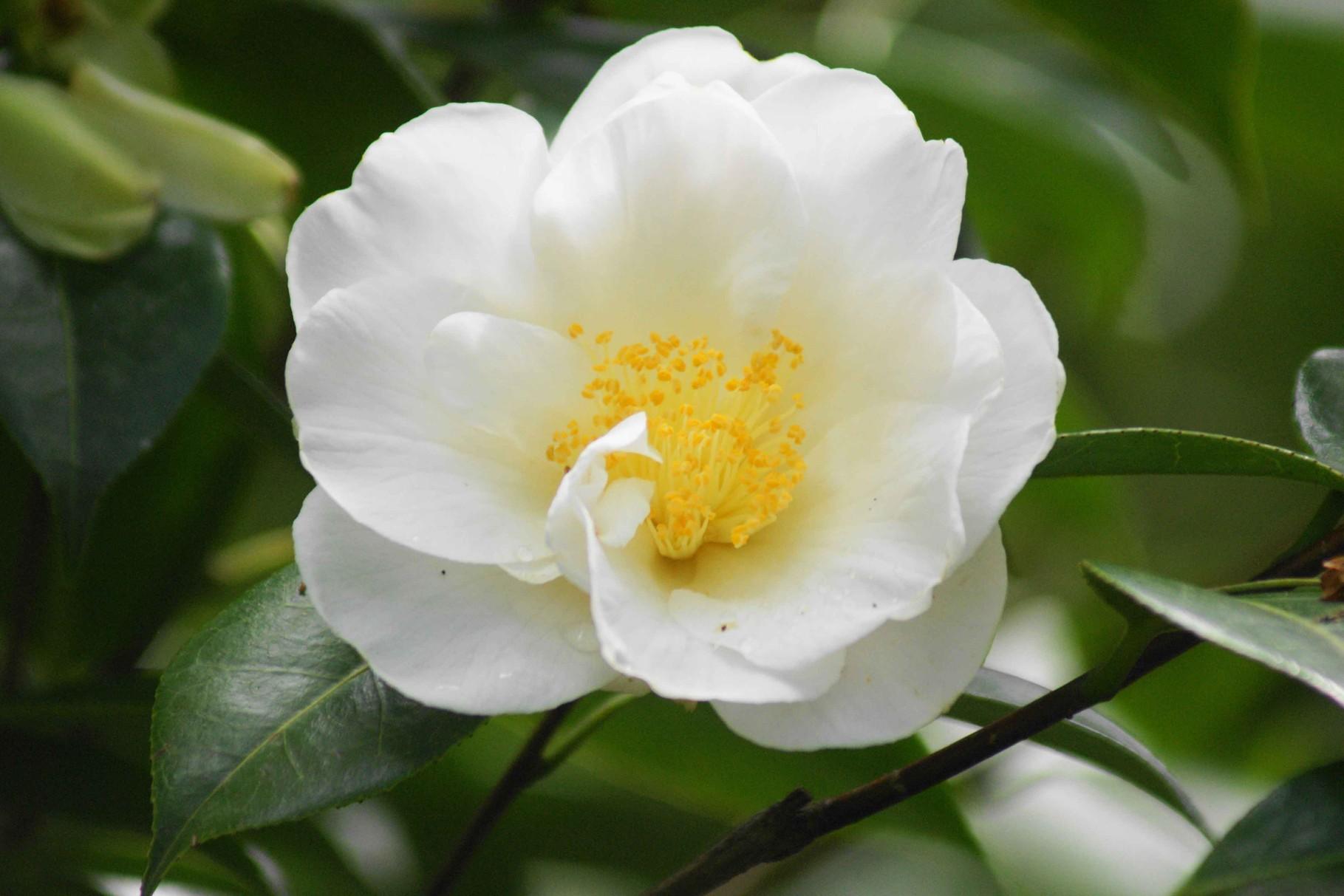 blanc camélia
