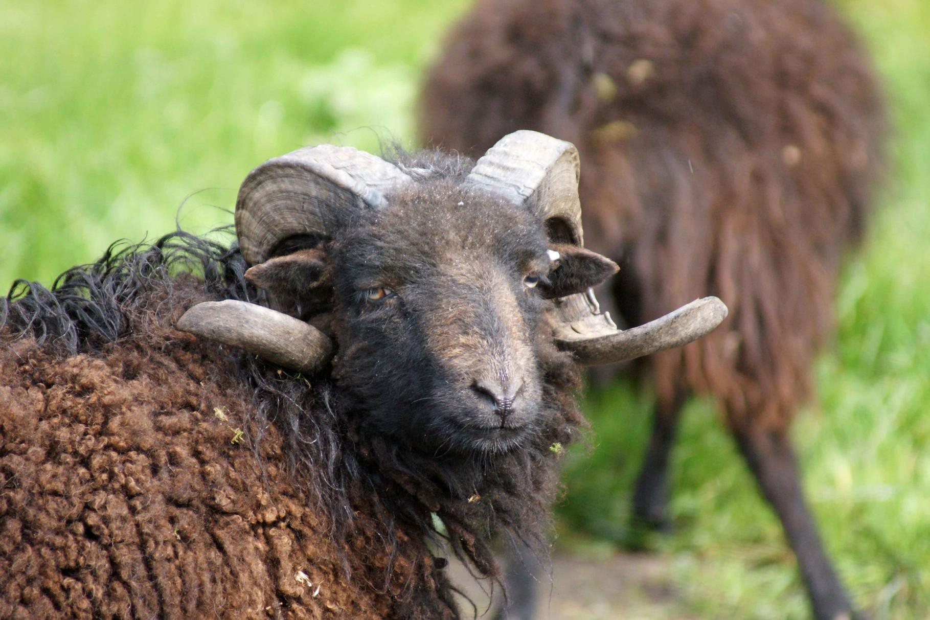 Mouton d'Ouessant