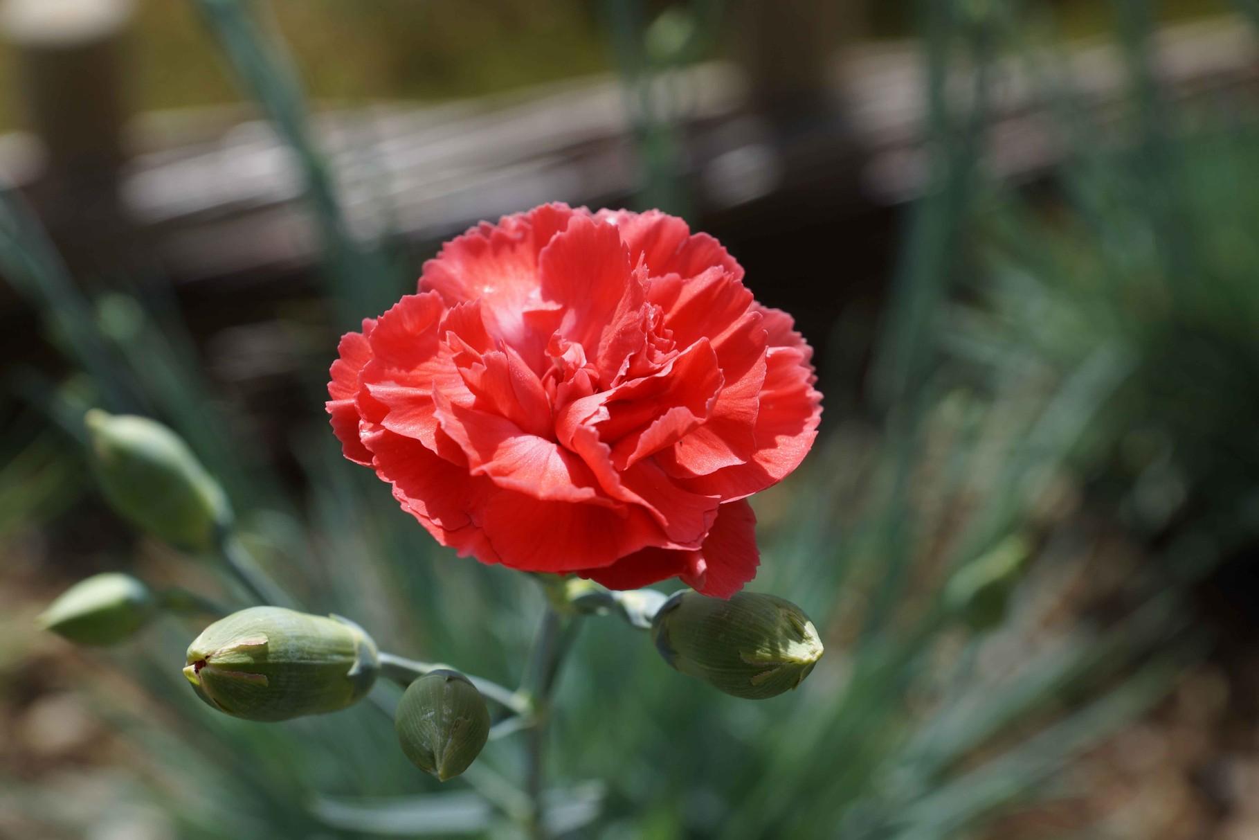 Fleur de Lisbonne