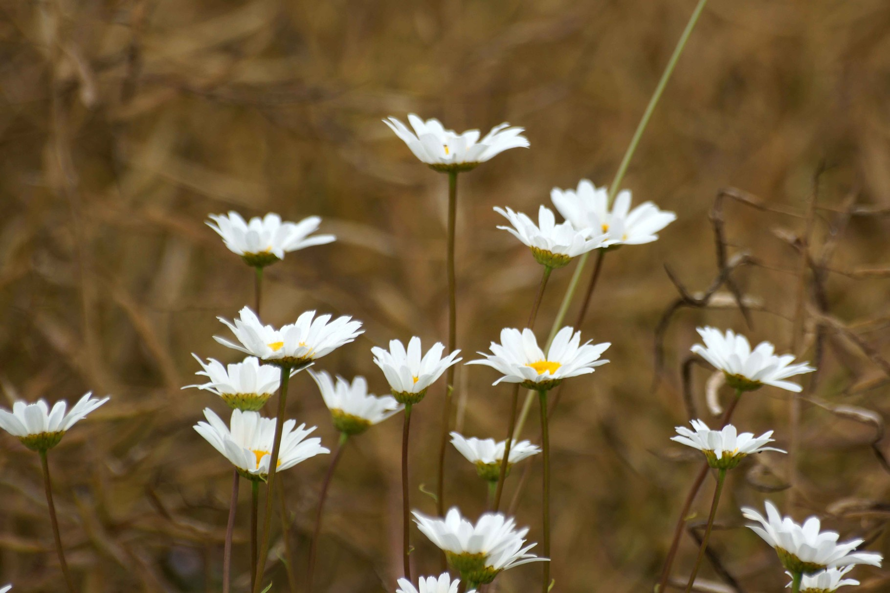 Fleurs Champêtres de Duault