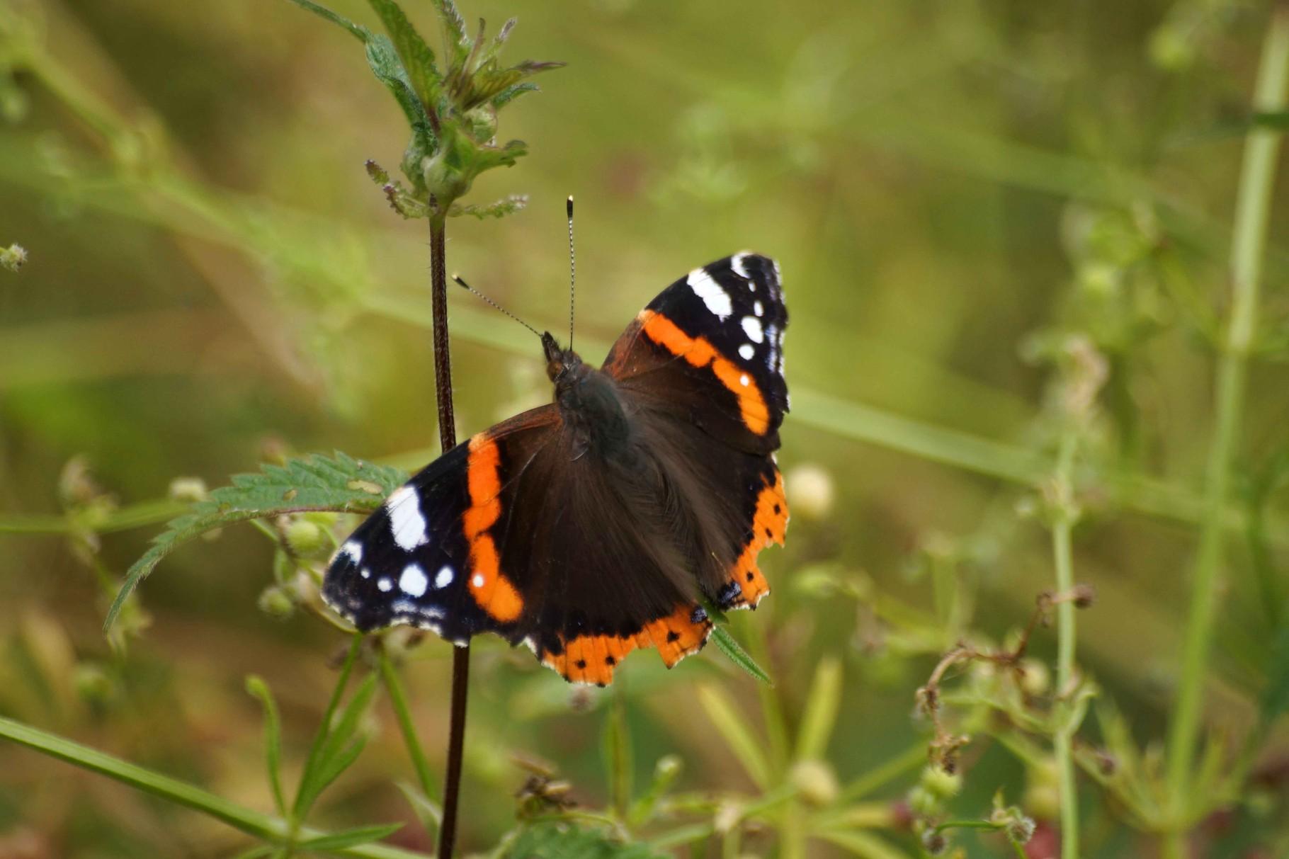 Papillon du Dour Uzel Plouégat Moysan (2)
