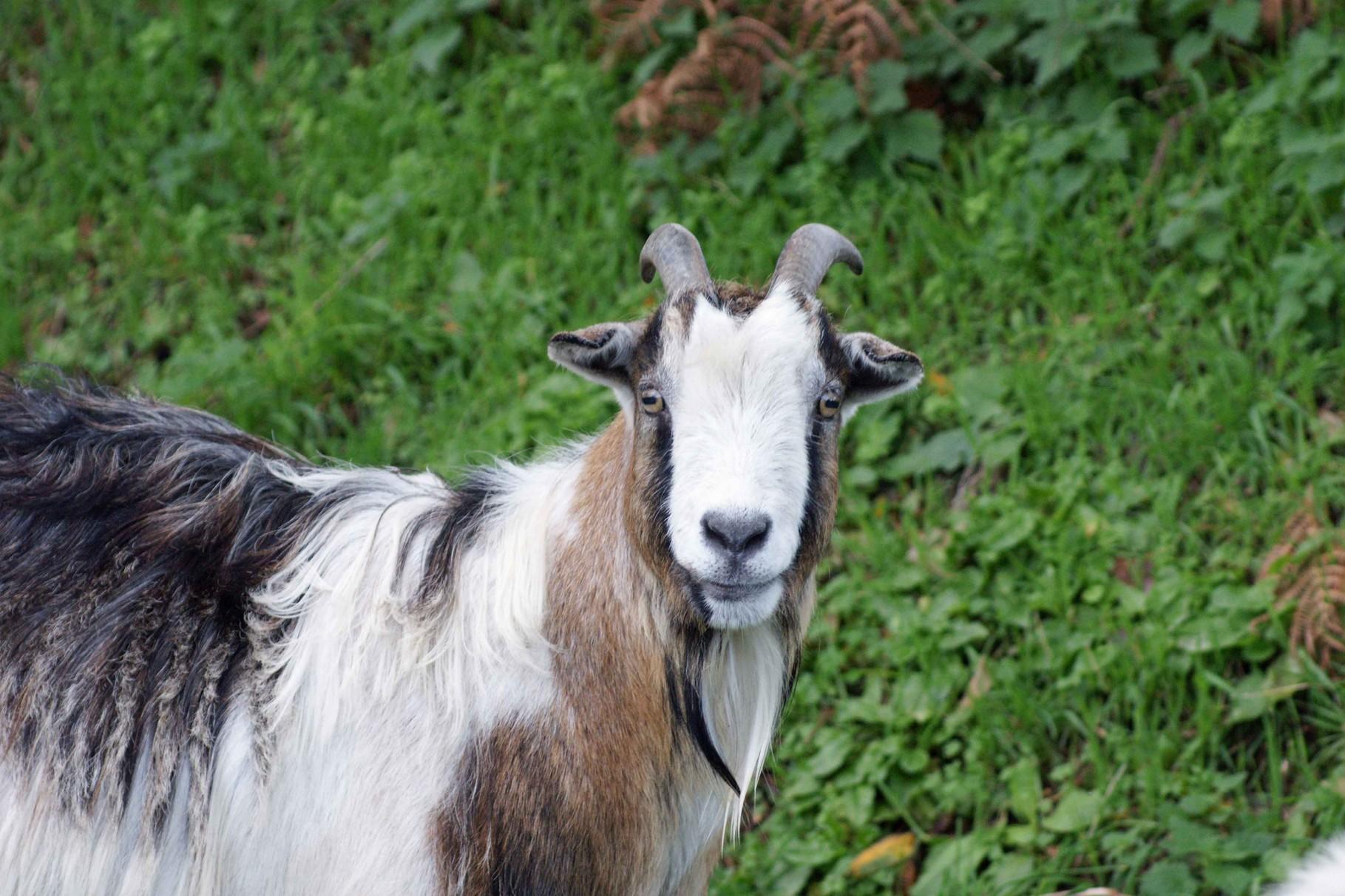 La chèvre de Mr De La Roche Jagu