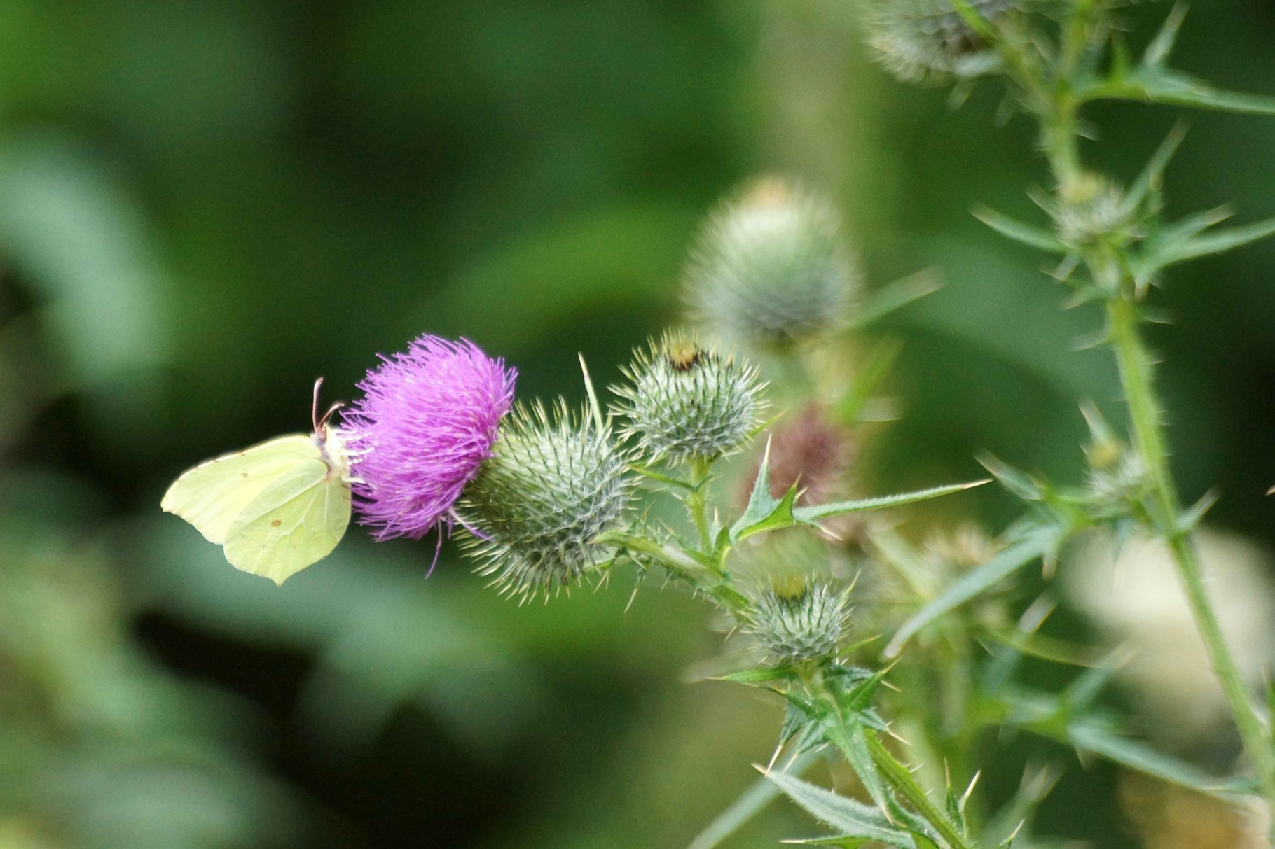 Papillon du Dour Uzel Plouégat Moysan