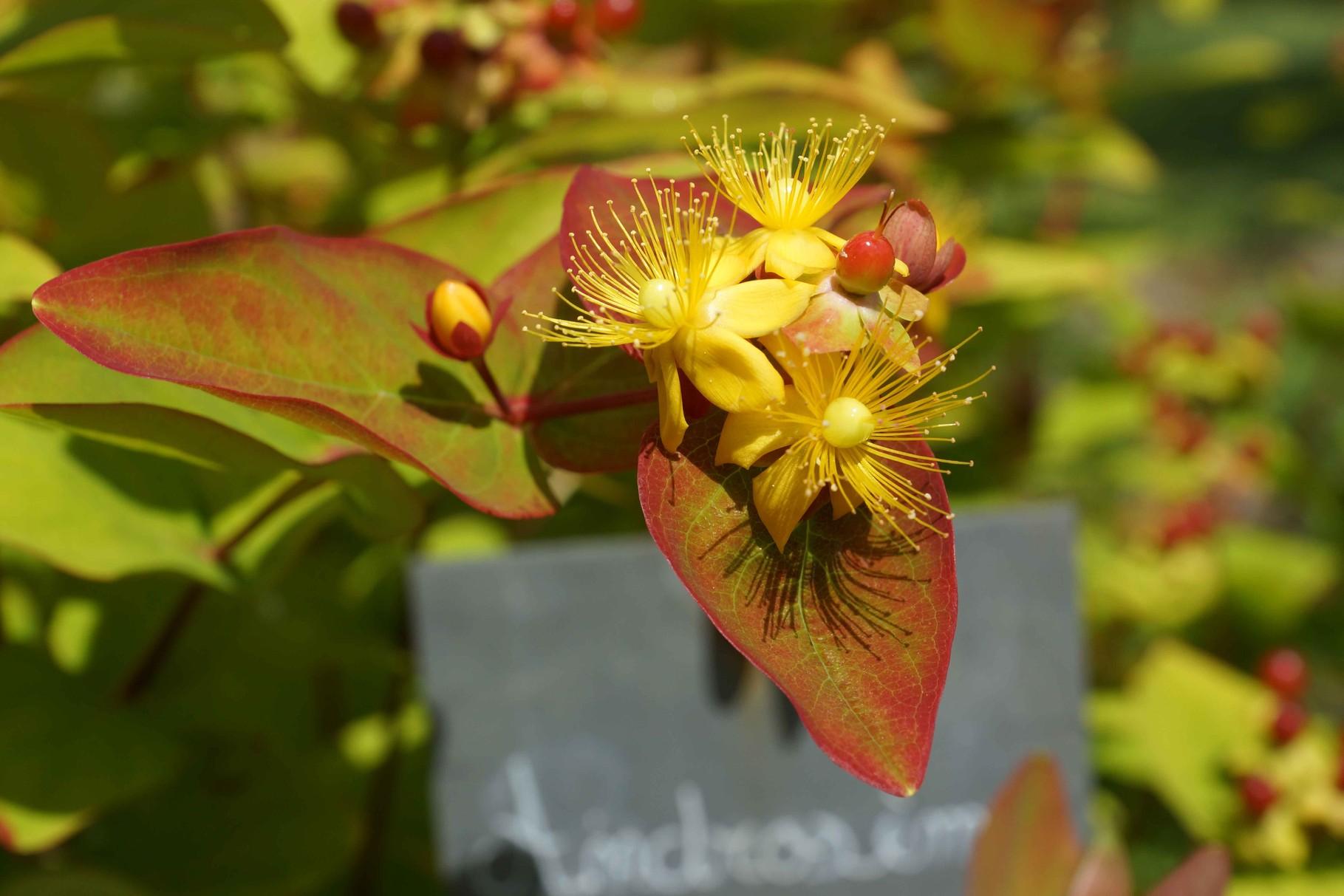 Fleurs des jardins des plantes médicinales