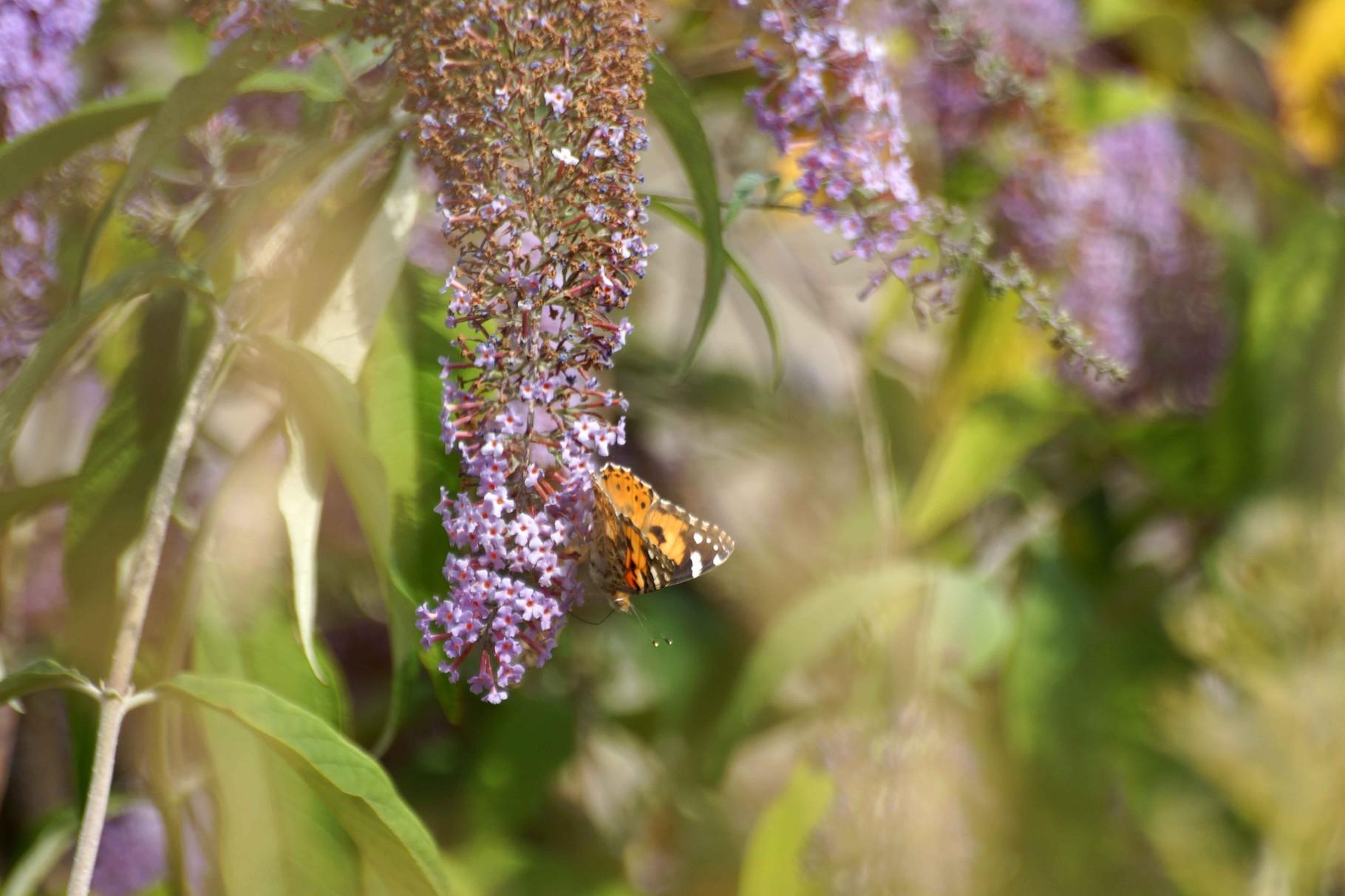 Papillon de Plérin