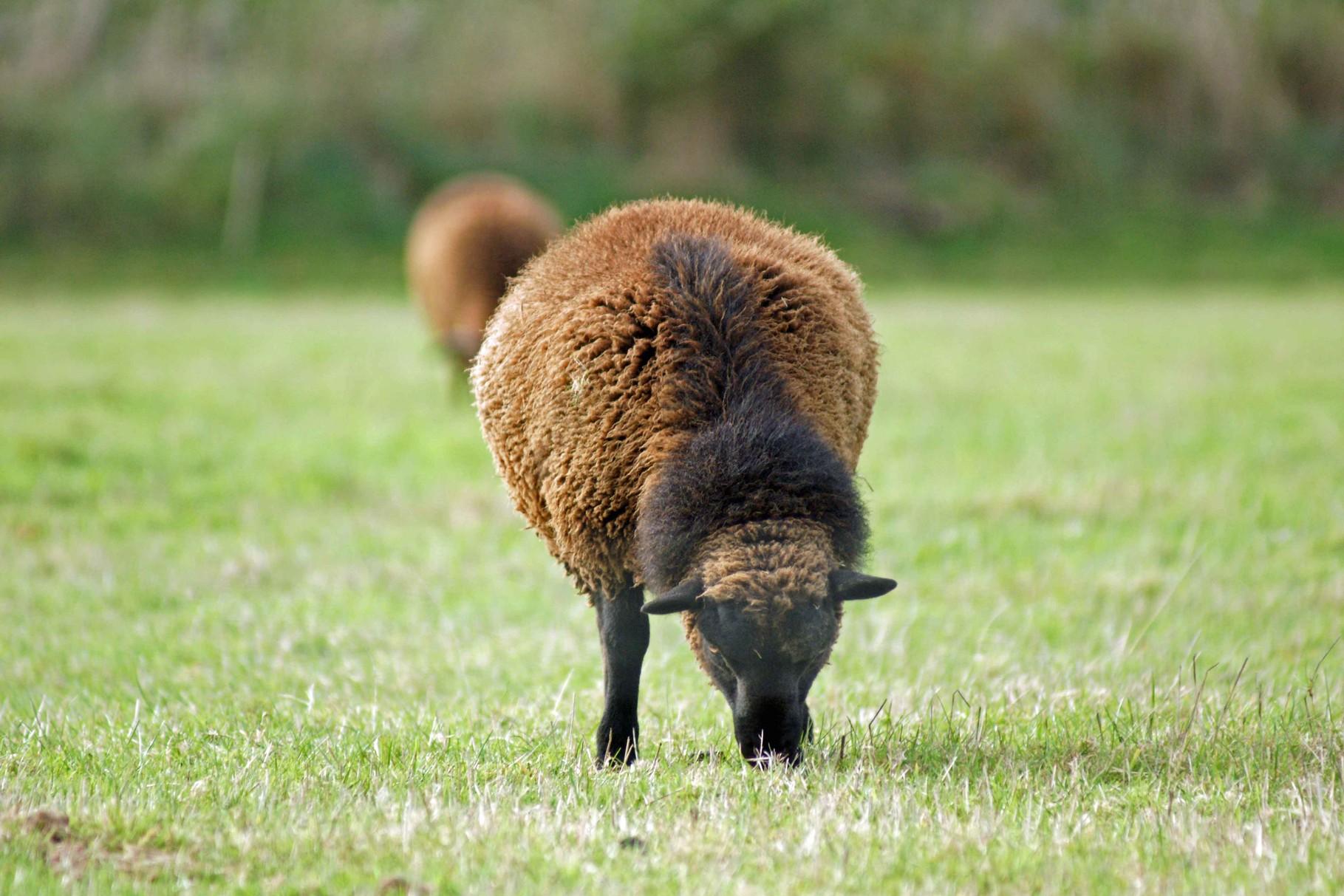 Mouton noir des landes